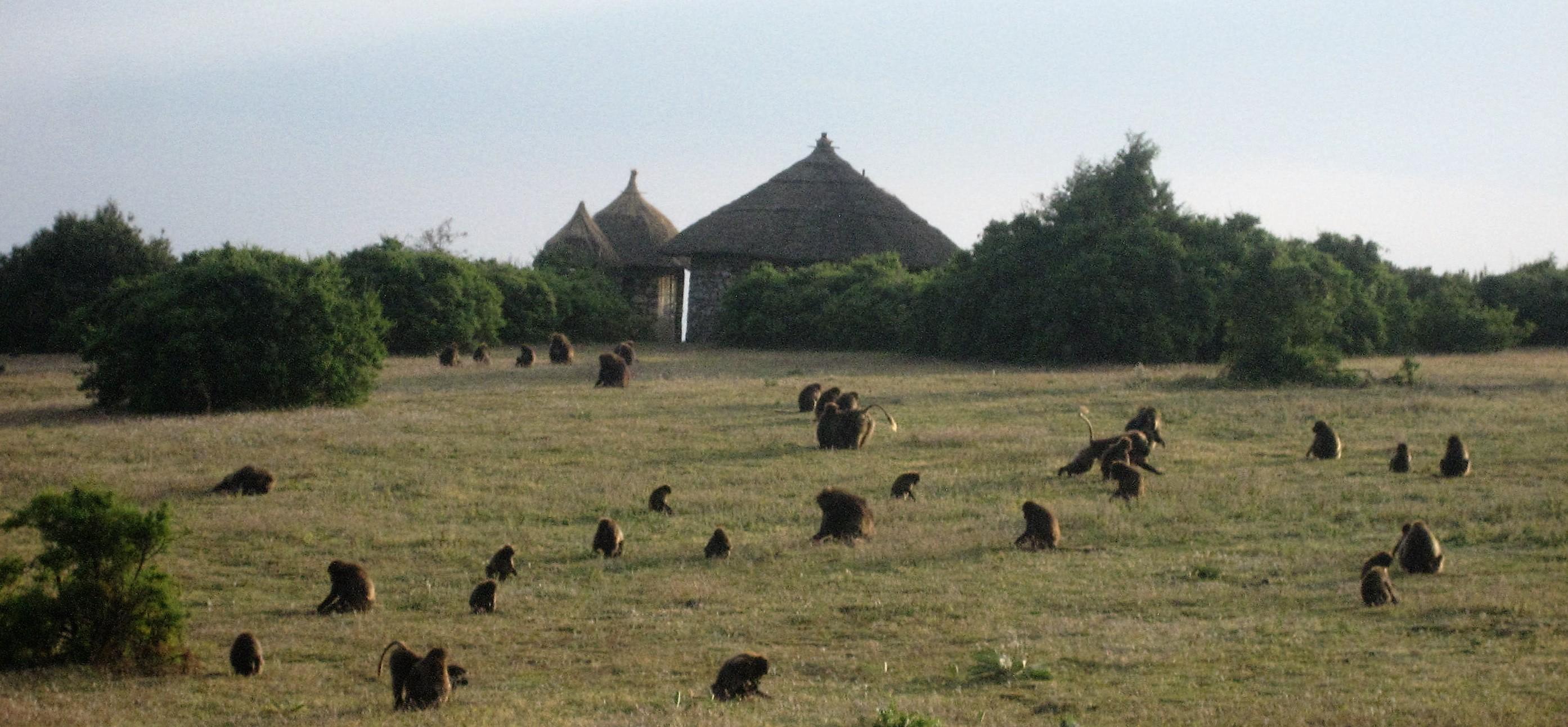 ethiopia-baboons-near-lalibela